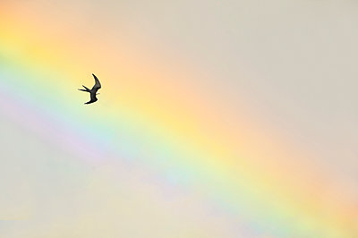 Swallow-tailed Kite flying in front of rainbow, Florida - p884m1356972 by Alan Murphy/ BIA