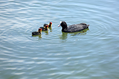 Black coot with chickens - p1016m2193385 by Jochen Knobloch