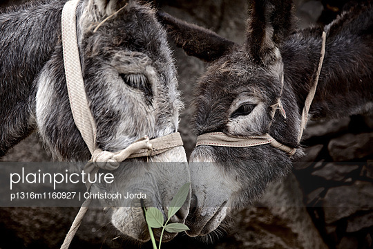 Zwei Esel, Santiago, Kap Verde - p1316m1160927 von Christoph Jorda