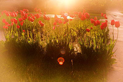 Tulips in sunlight after rain - p1072m857307f by Michelle Kelly
