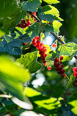 Red currant - p310m2089563 by Astrid Doerenbruch
