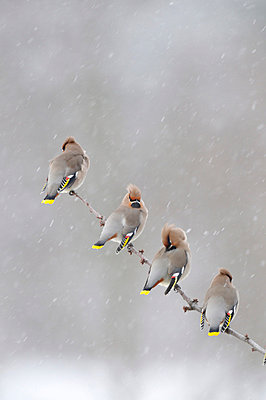 Waxwings in the fall of snow - p5753547 by Stefan Ortenblad