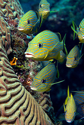 School of Blue striped Grunt - p924m664982f by Image Source