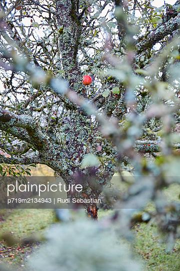 Einsamer roter Apfel am herbstlichen Baum - p719m2134943 von Rudi Sebastian