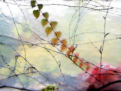 Weinranke am Fenster - p8790043 von nico
