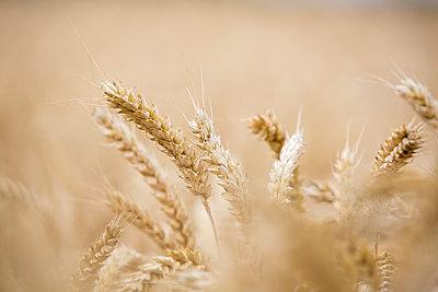 Heads of ripe cereal crops in a farmer's field - p1057m1475324 by Stephen Shepherd