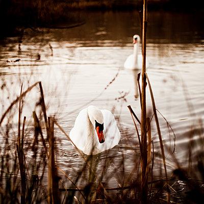Swan behind reed on a lake - p1687m2295141 by Katja Kircher