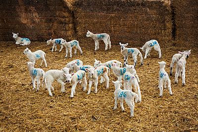 Flock of newborn lambs with blue numbers painted onto their sides standing in a stable on straw. - p1100m1450916 by Mint Images