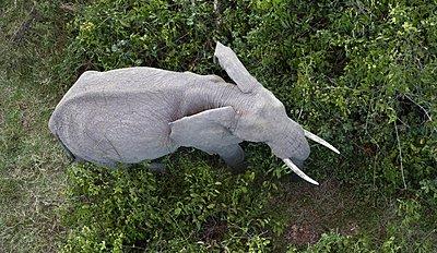 African Elephant (Loxodonta africana) in savanna. Masai Mara National Park. Kenya. - p1403m2218954 by Nicolas Deloche/Godong