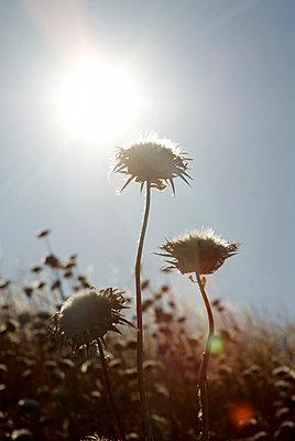 Vertrockente Blumen - p4620127 von BHarman