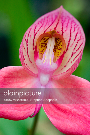 A beautifully coloured orchid of the Disa variety showing the detailing in the petals and flower head. - p1057m2291500 by Stephen Shepherd