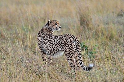 A beautiful cheetah walks the savannah - p1166m2141016 by Cavan Images
