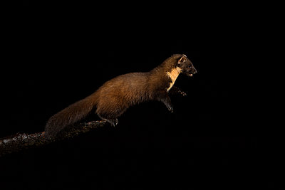 Pine marten, Martes martes, jumping at night - p300m2160222 by Mark Johnson