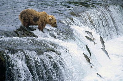Grizzly Bear fishing for spawning salmon at a waterfall - p8844438 by Matthias Breiter