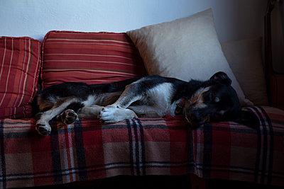 Hund ruht auf Sofa - p1650m2231831 von Hanna Sachau