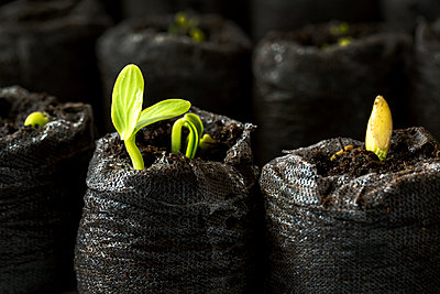 Close-Up Of Bean Seedlings In A Soil Pouches; Calgary, Alberta, Canada - p442m1499748 by Michael Interisano