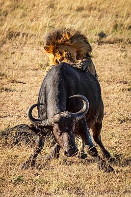 Male lion (Panthera leo) pushed down Cape buffalo (Syncerus caffer) from behind, Serengeti; Tanzania - p442m2113752 by Nick Dale