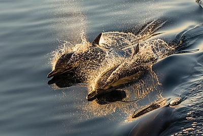 Long-beaked common dolphins , wake riding, Isla Danzante, Baja California Sur, Mexico, North America - p871m1561569 by Michael Nolan