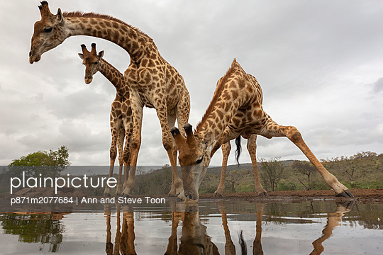 Giraffe, Giraffa camelopardalis, drinking, Zimanga private game reserve, KwaZulu-Natal, South Africa - p871m2077684 by Ann and Steve Toon