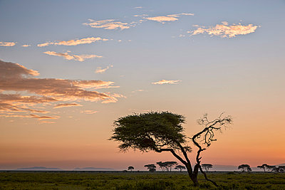 Acacia tree and clouds at dawn, Ngorongoro Conservation Area, UNESCO World Heritage Site, Serengeti, Tanzania, East Africa, Africa - p871m1056792f by James Hager