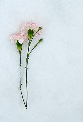 Carnation flower in the snow - p971m900290 by Reilika Landen