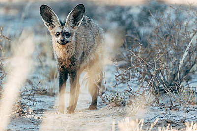Bat-eared Fox - p1065m982592 by KNSY Bande