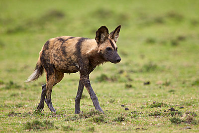 African wild dog   , Ngorongoro Conservation Area, Serengeti, Tanzania, East Africa, Africa - p871m1056774f by James Hager