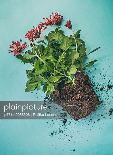 Uprooted plant - p971m2055308 by Reilika Landen