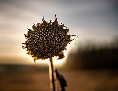 Germany, Bavaria, Franconia, Dried up sunflower - p1275m2229444 by cgimanufaktur