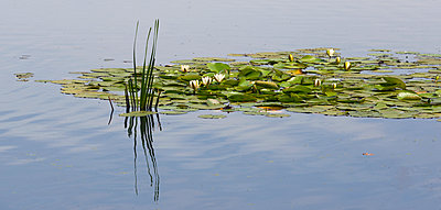 Water lilies floating on tranquil water with a reflection on the surface - p442m2037042 by Margaret Whittaker