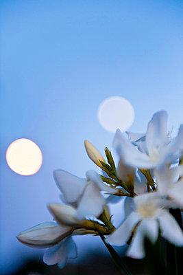 White oleander blossoms - p533m1055305 by Böhm Monika