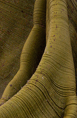 Kapok tree detail of bark and buttressed roots - p8842783 by Pete Oxford