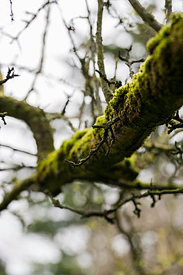 Close-up of moss growing on a tree branch - p1047m1007727 by Sally Mundy