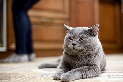 British Shorthair cat lying on floor at home with woman in background - p300m2198575 by Ekaterina Yakunina