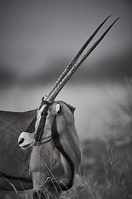 East African oryx, portrait - p706m2158437 by Markus Tollhopf