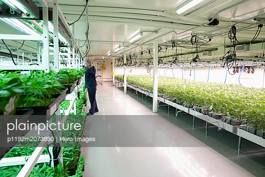 Grower inspecting cannabis seedlings in incubation - p1192m2073890 by Hero Images