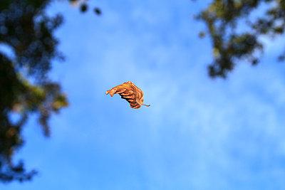 Autumn leaf - p417m948201 by Pat Meise