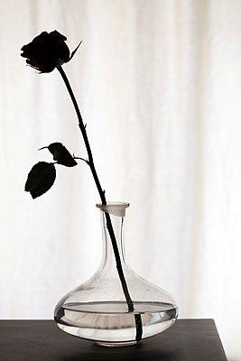 One rose - p873m952283 by Philip Provily