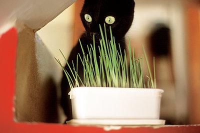 Schwarze Katze hinter Gefäß mit Kräutern - p1270m1090856 von Corinne Nguyen
