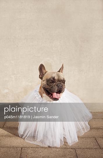 Hund im Tutu - p045m1181819 von Jasmin Sander