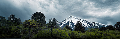 Monkey puzzle tree - p844m1118967 by Markus Renner