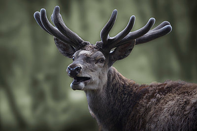 Red deer - p9793200 by Luther photography