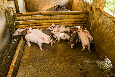 Piglets in pigpen - p1427m2066997 by Steve Smith