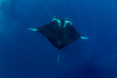 Oceanic manta ray (Manta birostris) feeding near the surface, Honda Bay, Palawan, The Philippines, Southeast Asia - p871m2122886 by Duncan Murrell