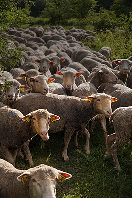 Sheep - p046m792745 by Hexx