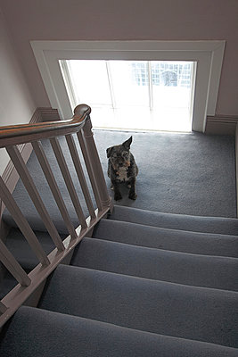 Dog on Stairs - p1121m904279 by Gail Symes