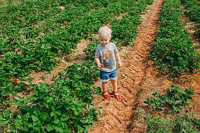 Blonde boy picking strawberries - p1238m1461796 by Amanda Voelker