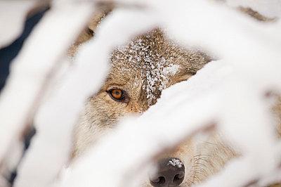 Wolf - p4420978f by Design Pics