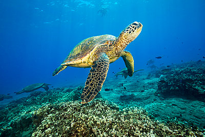 Green sea turtles (Chelonia mydas), an endangered species, gathering at a cleaning station off Maui; Maui, Hawaii, United States of America  - p442m1578796 by Dave Fleetham