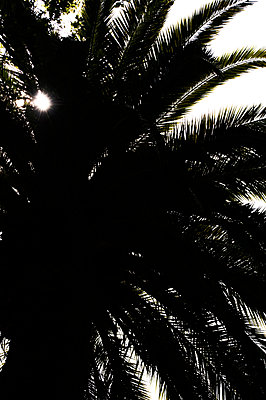 Silhouette of palm tree treetop - p1047m1475140 by Sally Mundy